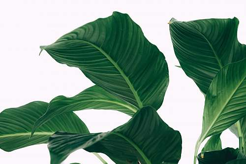green peace lily leaves greenery