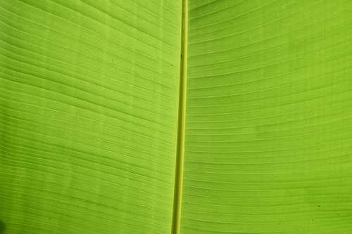 plant green banana leaf leaf