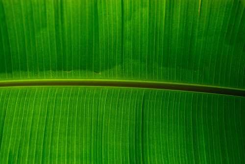 leaf green banana lef plant