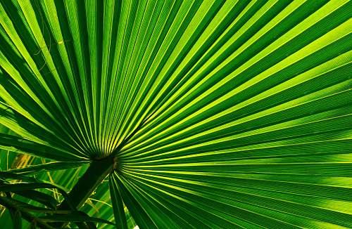 light green fan palm palm tree