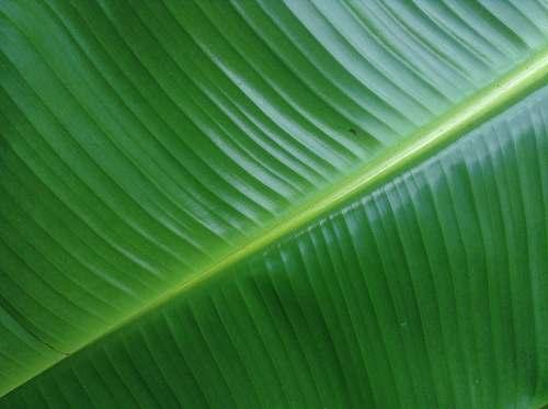 plant banana leaf green