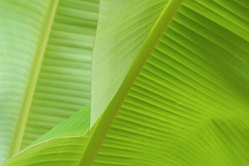 plant close view of banana leaves green