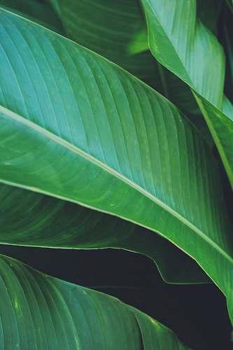 plant green banana leaf green