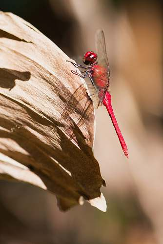 photo insect red dragonfly on leaf dragonfly free for commercial use images