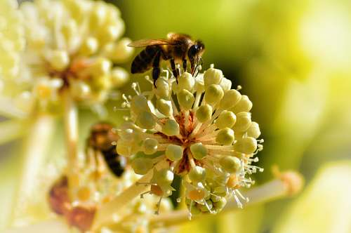 bee selected-focus photography of yellow and white petaled flower with black and yellow bee pollen