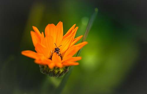nature orange petaled flower bee