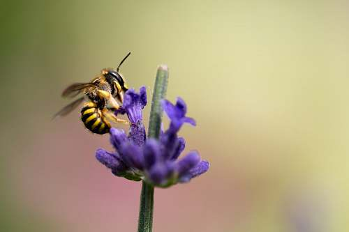 bee selective focus photography of bee on purple petaled flower flora