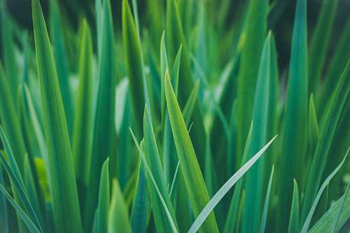 photo plant closeup photo of sword-shaped green leafed plant flora free for commercial use images