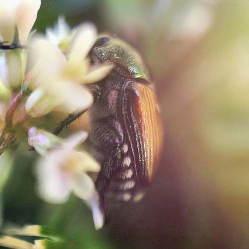 flower green and brown beetle perched on white flowers macro photography bug