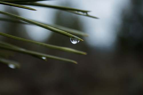 conifer drop of water on green leaf during daytime tree