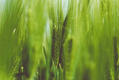 grass green wheat green