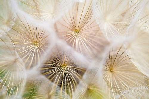 flower white dandelion flowers nature