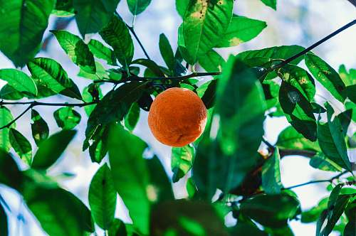 fruit orange fruit plant