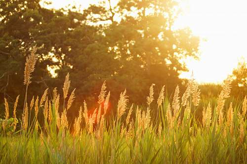 wheat scenery of a grassfield during sunset grass