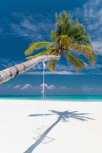 tropical bent coconut tree with hammock near shore during daytime land