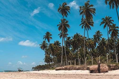 tropical coconut tree in seashore person