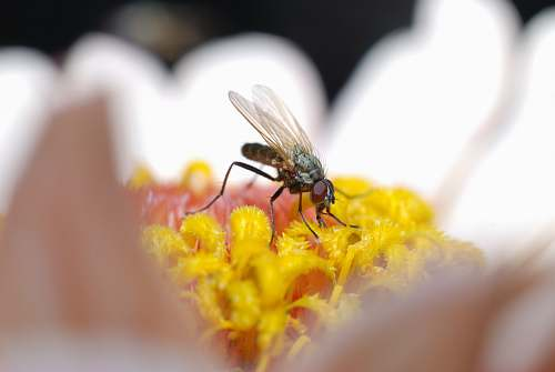 animal macro photography of fly on white daisy bee