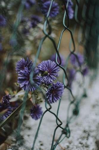 plant purple aster flowers beside chain link fence flower