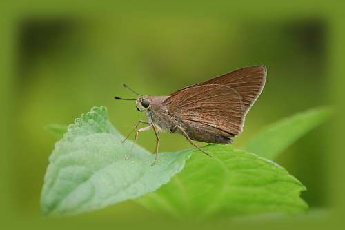 insect brown moth on green leaf animal