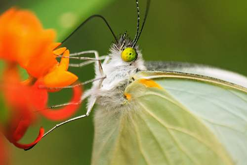 insect white butterfly on orange flower in macro lens photography animal