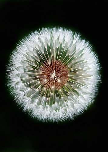 dandelion macro photography of dandelion blossom