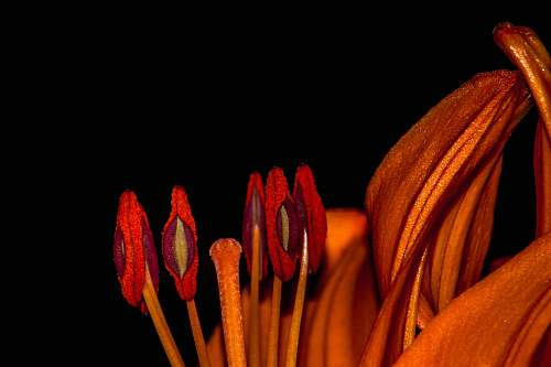 lily macro photography of red petaled flowers red