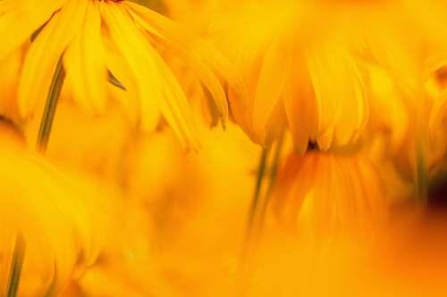 blossom macro shot of yellow flowers yellow