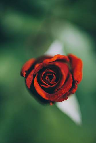romania selective focus photography of red rose flower rose