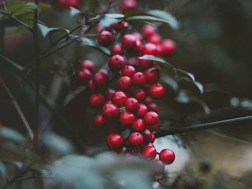 flora red cherries fruit food