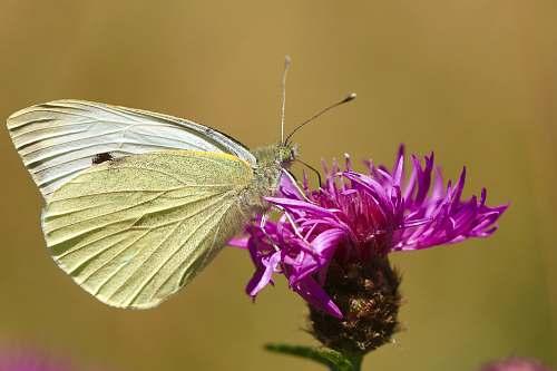 animal beige butterfly on pink petaled flower butterfly