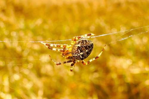 spider brown furrow spider invertebrate