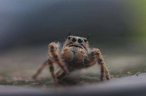 spider brown spider arachnid