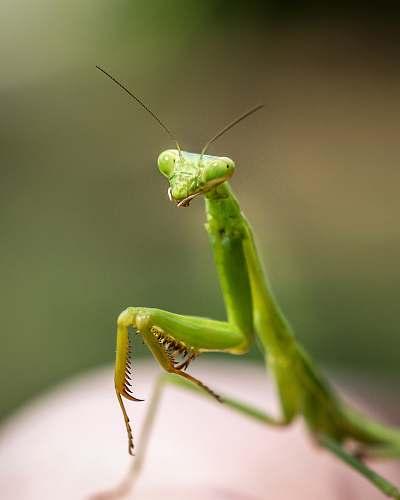 animal close up photo of green praying mantis invertebrate