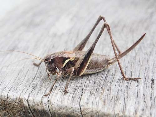 animal grasshopper on wooden surface grasshopper