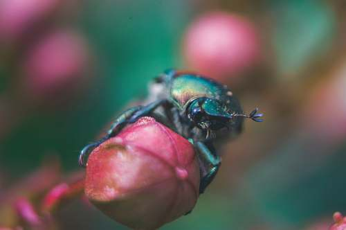 bug green beetle on red flower beetle