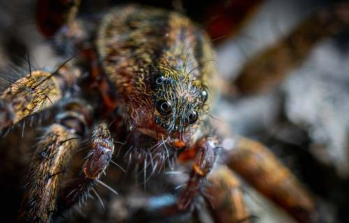 spider macro shot of brown and black spider arachnid