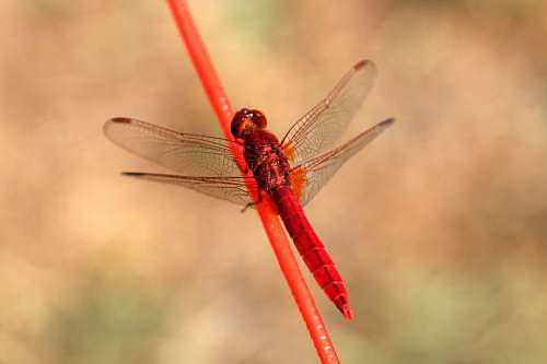 photo animal red firefly on red stick dragonfly free for commercial use images