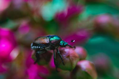 beetle shallow focus photography of black and green bug on pink flower bug