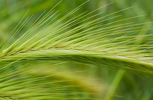 grass green leafed plant wheat