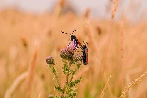 field two bugs on dandelion vegetation